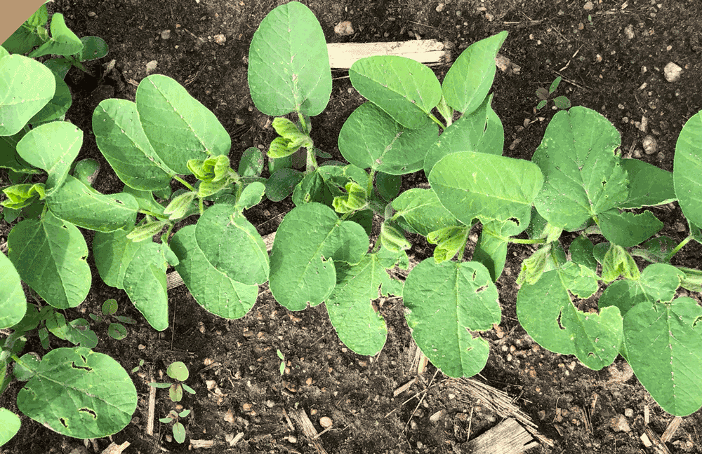 V2 stage soybean growth