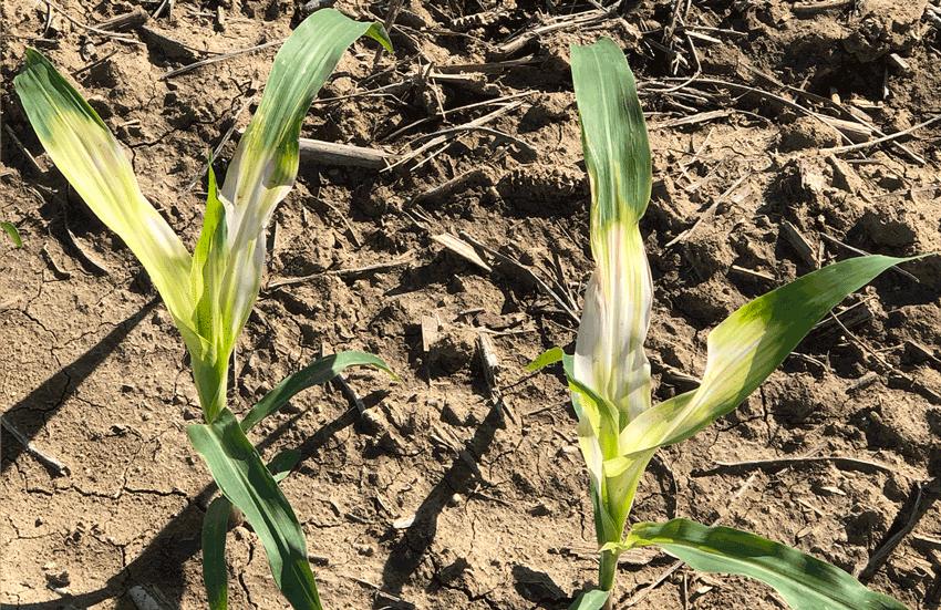 Halex damage to corn
