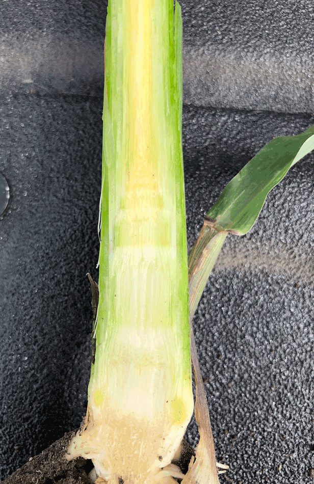Em_950x616_Dissected-corn-plant-showing-growing-point-and-small-tassel-at-tip-of-growing-point_