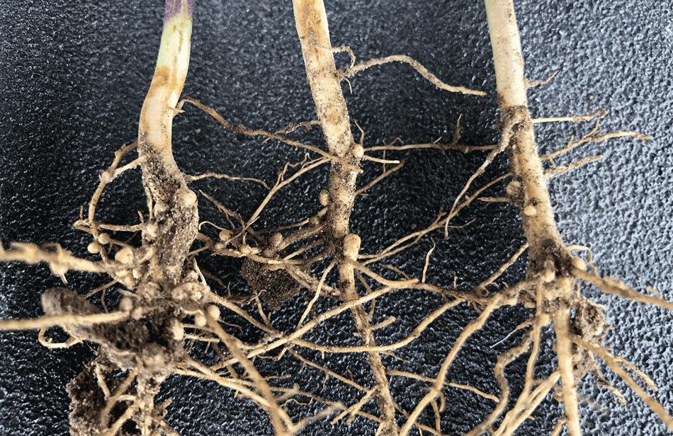 Good soybean nodulation