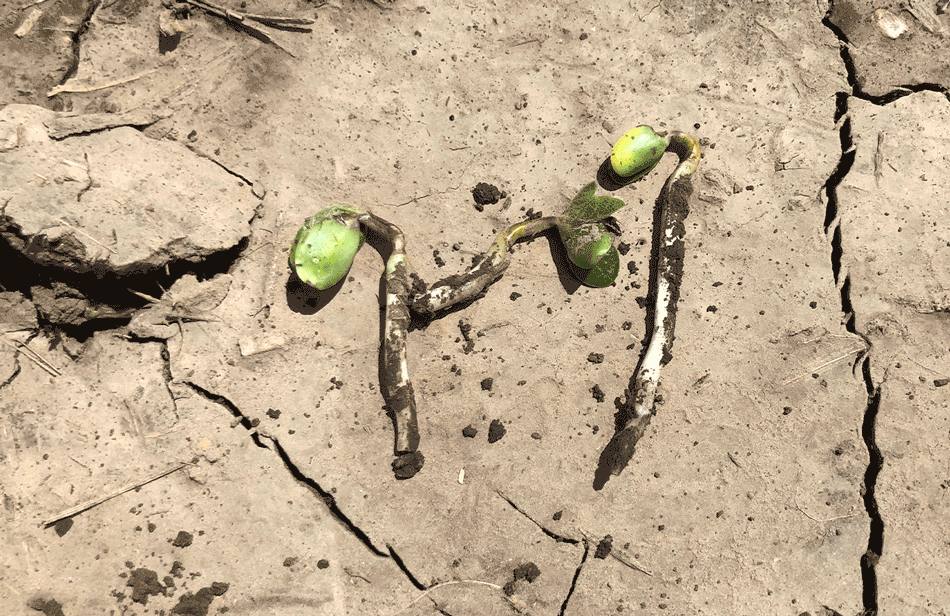Sulfentrazone damage to emerging soybeans