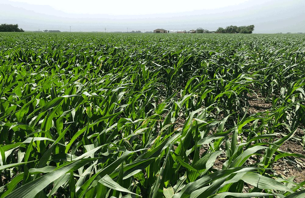 high wind corn plants damage
