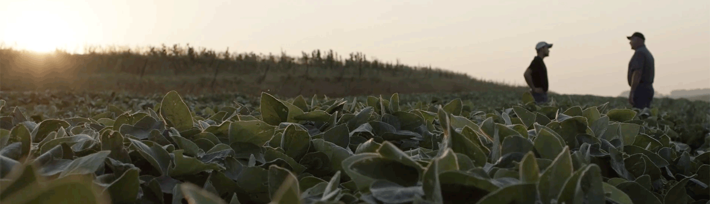 soybeans in the field with farmer