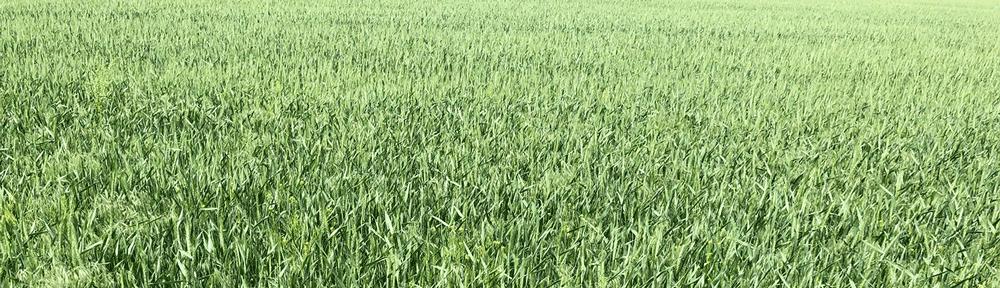 early wheat field