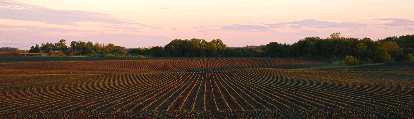 young corn plant sunset