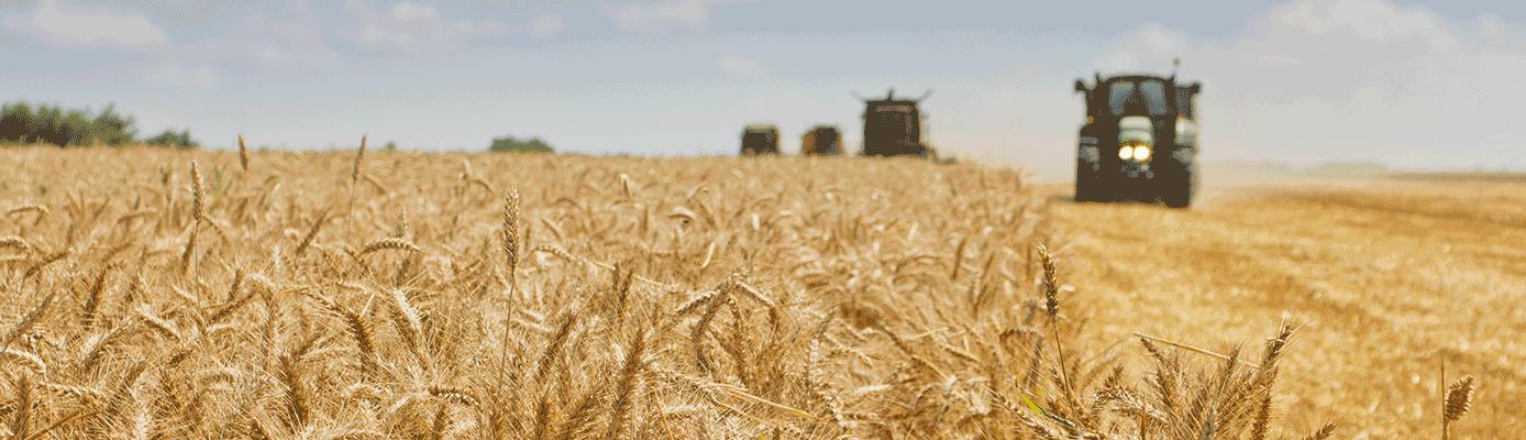 wheat_harvest_story_05-18_GMH7