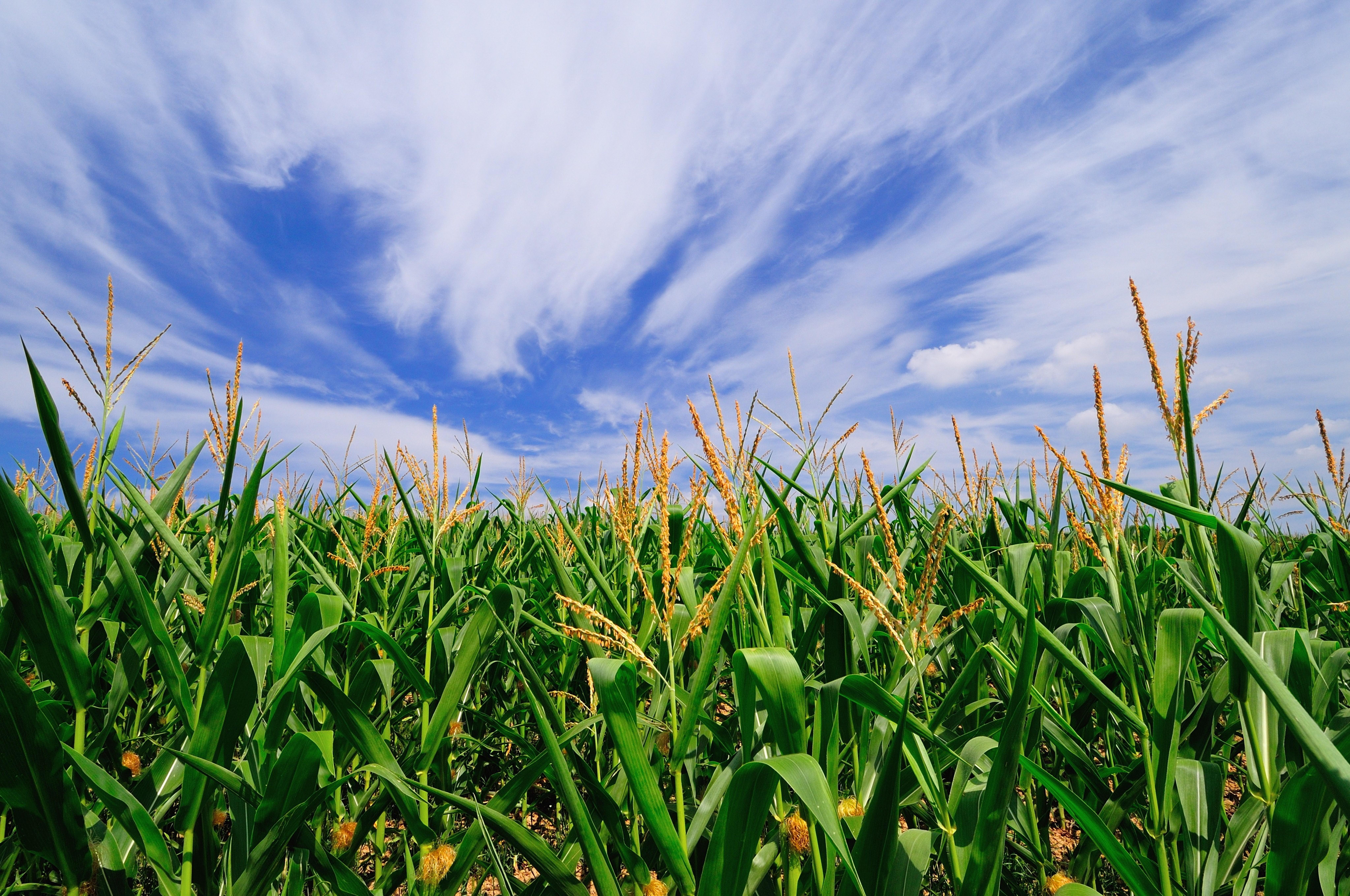 corn field2 (1).jpg