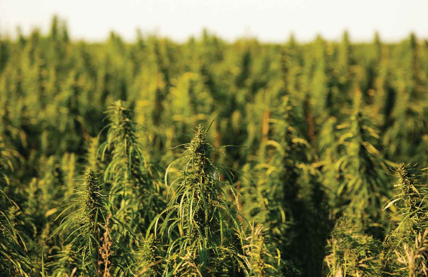 Industrial-Hemp-Production-United-States.jpg