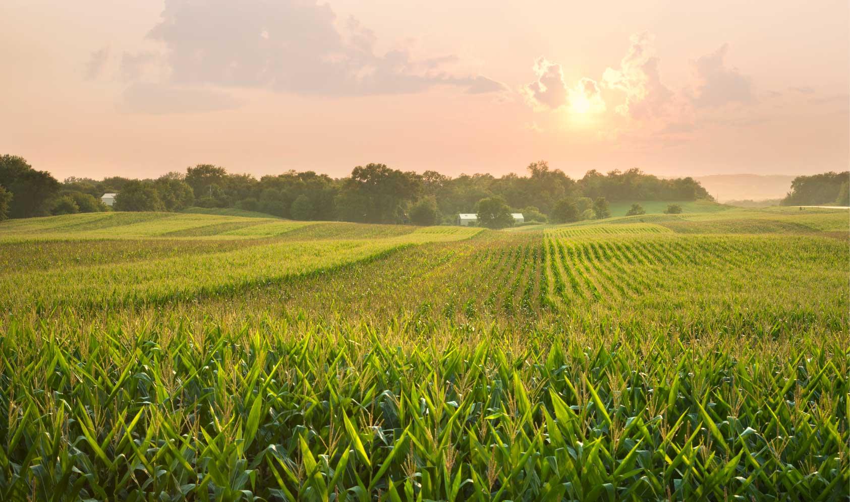 corn organic acres transition
