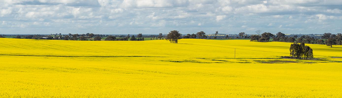 canola crop field
