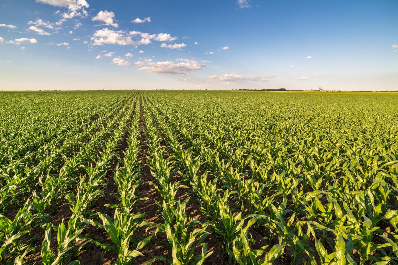 corn crop growth