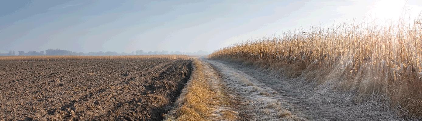 harvest corn field frost